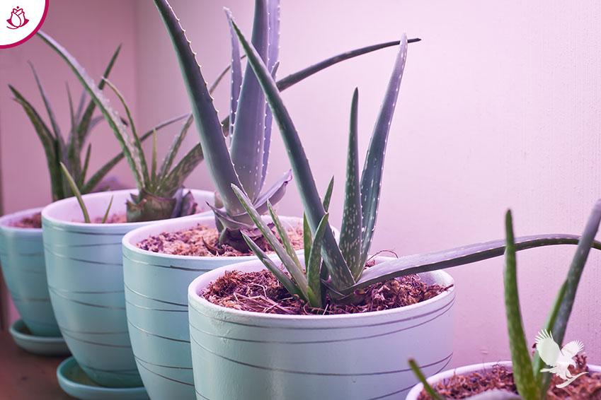 pianta aloe vera vaso